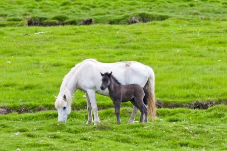 black horse: Caballo islandés con su potro Northen Islandia, Europa