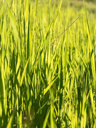 backlite: Candid shot of long blades of green grass in a mountain meadow, summer season, sunny day.