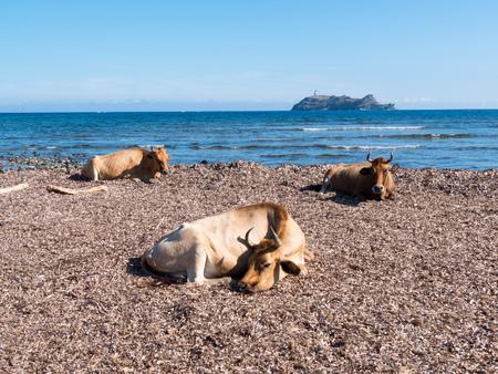 corse: Cows sitting in the mediterranean beach of Barcaggio, in the island of Giraglia - Cap Corse, Corsica, France, Europe