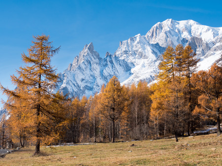 aosta: Larch trees and the snowy peaks of Mont Blanc in fall - Courmayer, Val d Stock Photo