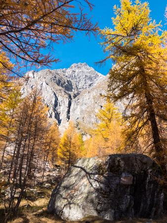 aosta: Larch trees and the peaks of Mont Blanc in fall - Courmayer, Val d