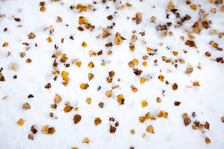 parole: Yellow birch leaves in the snow after the first fall of snow. Stock Photo