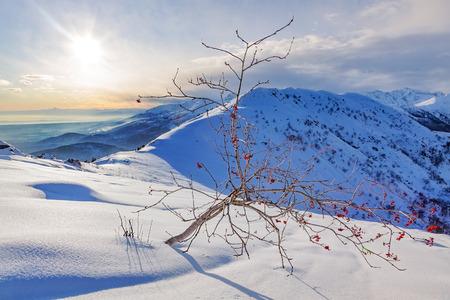 western european: Whitebeam tree (Sorbus aria) in a snowy mountain landscape. Winter season, sunny day. Biella, Western European Alps.