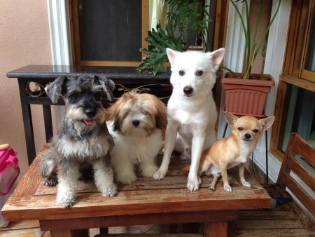 chucky: My dogs Schnauzer, Shih tzu, Japanese Spits and Chihuahua