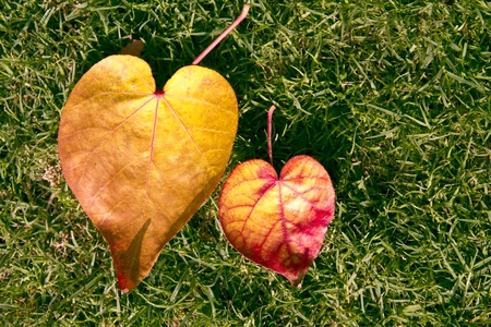 Heart shape of two fallen leaf with green grass background photo
