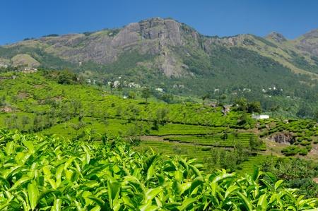 Tea Plantation in the Cardamam mountains. Kerala, India Editorial