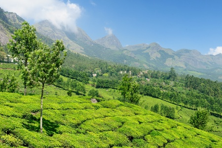 Tea Plantation in the Cardamam mountains. Munnar, Kerala, India Stock Photo - 11786615