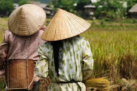 Vietnam - Harvesting rice
