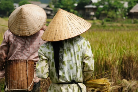 Vietnam - bei der Reisernte Standard-Bild - 12098900