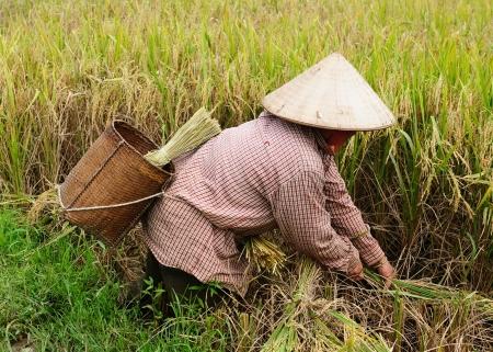 Vietnam - bei der Reisernte Standard-Bild - 12098916