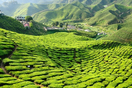 Tea Plantation in the Cameron Highlands, Malaysia photo