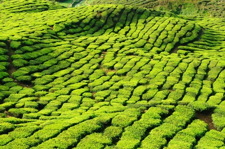 Tea Plantation in the Cameron Highlands, Malaysia Stock Photo - 12100392