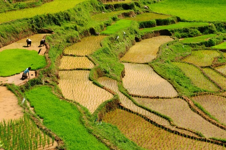Indonesia - green rice terraces in Tana Toraja, South Sulawesi photo