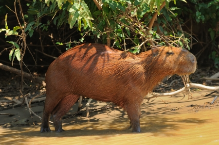 capybara in the Yacuma river, Bolivia.