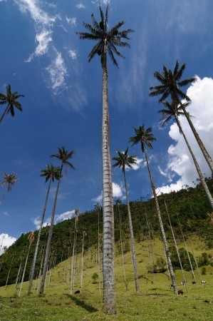 Colombia, Cocora valley near Salento has an enchanting landscape of pinies and eucalyptus towered over by the famous wax palms, Colombias national tree. Wax palms Standard-Bild