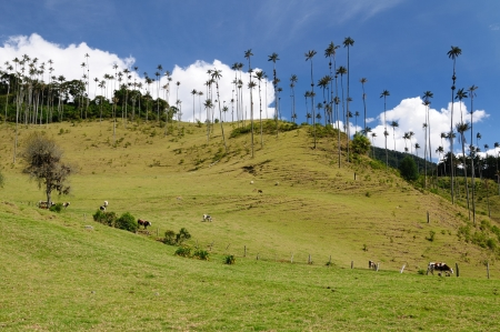 Colombia, Cocora valley near Salento has an enchanting landscape of pinies and eucalyptus towered over by the famous wax palms, Colombias national tree  Wax palms