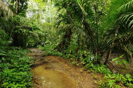 Mud footpath through wild Darien jungle near Colombia and Panama border  Central America   photo