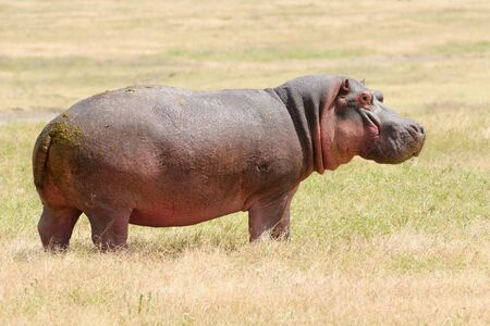 Wildlife  Hippo in safari in Africa photo