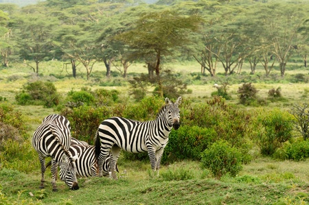 lake naivasha: Wildlife  Zebras in safari in Africa