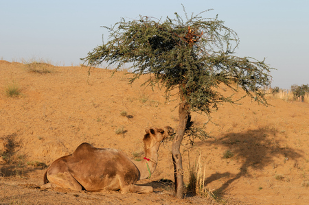 Camel resting under the acacia tree on the desert