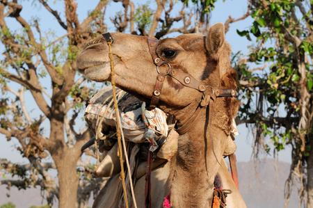 Portrait of the camel on safari, India photo