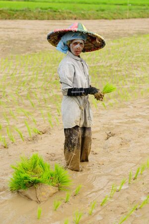 march 17: BUKITTINGGI, SUMATRA, INDONESIA - MARCH 17: Ethnic woman on a rice field planting the rice on an Sumatra island in Indonesia. Bukittinggi on March 17, 2011.