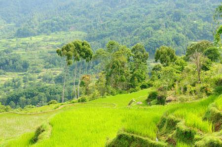 celebes: Green rice terraces in Tana Toraja, South Sulawesi, Indonesia Stock Photo