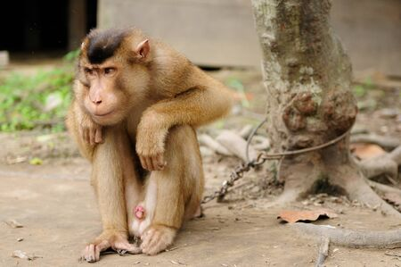 enslave: Wild monkey enchain to the tree in Asia