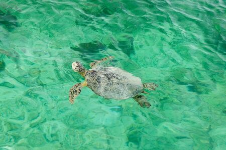 Turtle in turquoise water at coasts of Indonesia