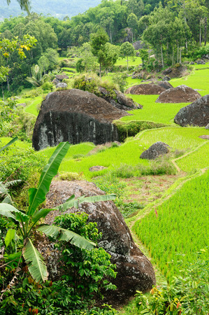 toraja: Green rice terraces in Tana Toraja South Sulawesi Indonesia