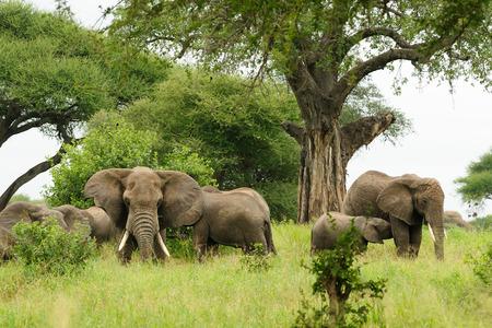 Famiglia di elefanti nella savana Archivio Fotografico - 48703017