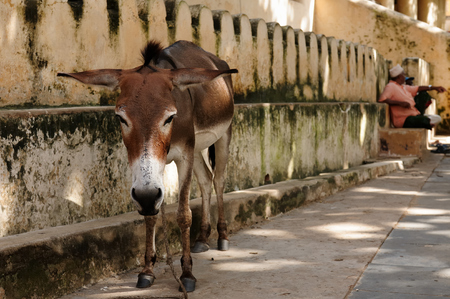 house donkey: Donkey being used for a transportation of goods on the Lamu archipelago standing by the wall of the fort in the Lamu city, Kenya