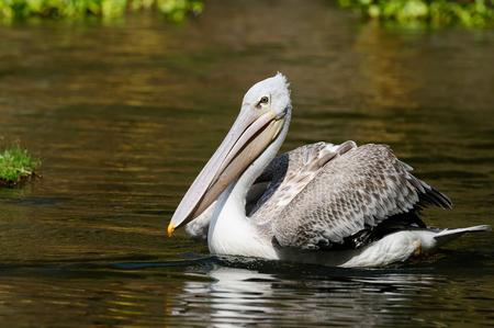 naivasha: Pelicans in the Naivasha national park in Kenya Stock Photo