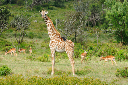 naivasha: Wildlife  Giraffe in safari in Africa, Kenya, Naivasha National Park