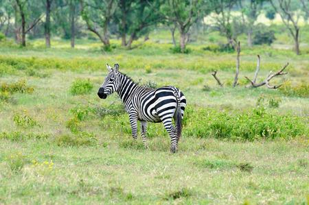 naivasha: Wildlife  Zebra in safari in Africa, Kenya, Naivasha National Park Stock Photo