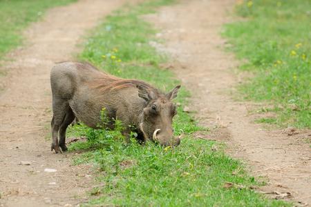 naivasha: Warthog in the Naivasha national park in Kenya