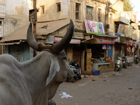 india cow: Bustling street in India seen with eyes of a sacred cow