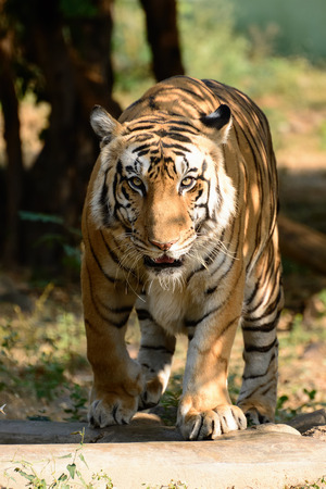 Bengal tiger from Gujarat state in India