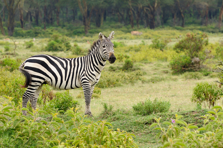 naivasha: Wildlife Zebra in safari in Africa, Kenya, Naivasha National Park Stock Photo
