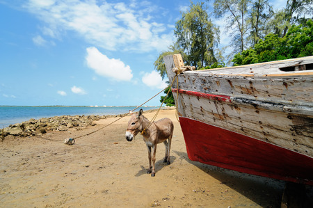 Donkey being used for a transportation of sand on the Lamu archipelago standing on the beach, Kenya