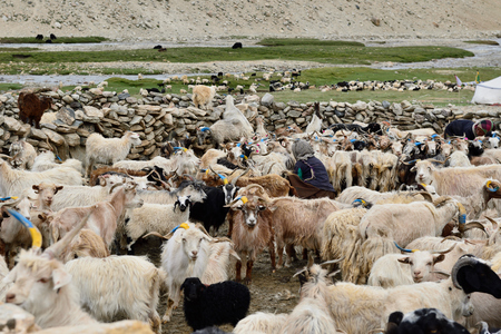 Stone homestead indian Changpa to farm animals, goats from which they are collect pashmina wool. The pashmina fibre is the finest fibre of all goat hair