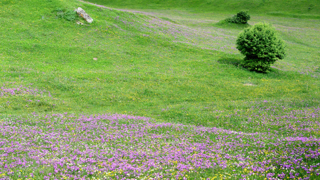 Purple meadows in the mountains of the Caucasus in the Swanetia area, Georgia