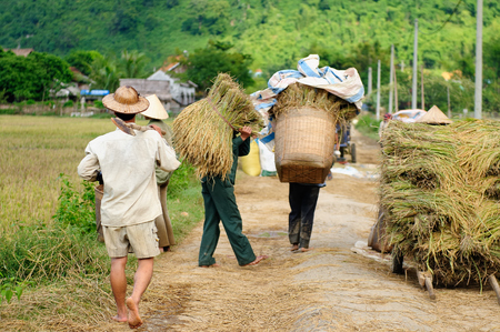 Asia farmers harvest rice at countryside in Vietnam Stock Photo