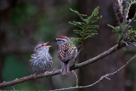 fledgling: Young Chipping Sparrow Begging to be Fed