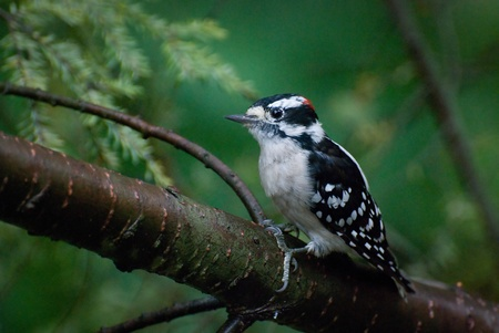downy woodpecker: Downy Woodpecker Perched on Branch Stock Photo