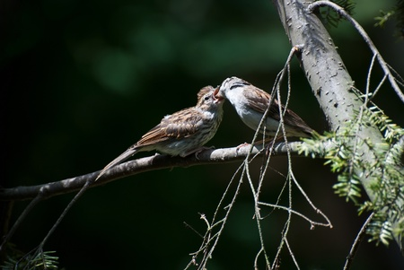chipping: Adult Chipping Sparrow Feeding Young