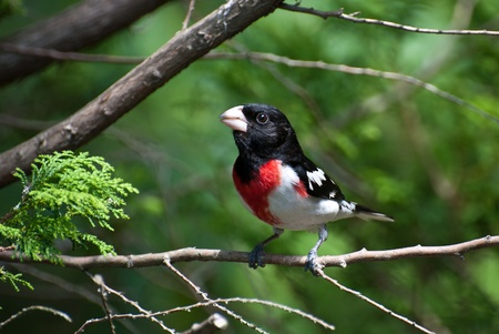Rose Breasted Grosbeak Perched on Branch photo