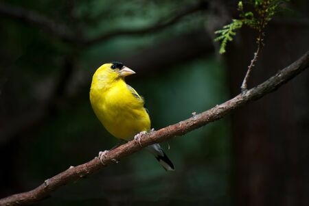 American Goldfinch Perched on a Branch Stock Photo - 10732892