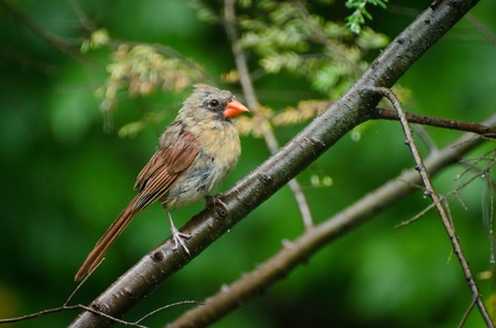 Northern Cardinal in the Rain photo