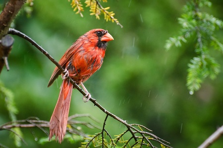 drizzle: Northern Cardinal in the Rain